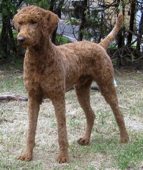 hair short poodle bonde hair cuts breeds getting my first dog in north eastern india