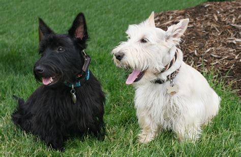Scottish Terrier   Scottish Terrier Pet Insurance & Info