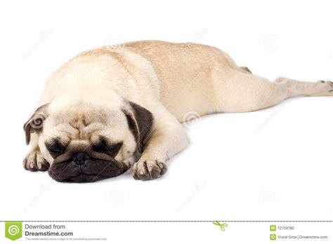 pug sleeping pug sleeping stock photo image 12759780