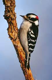 eek downy woodpecker