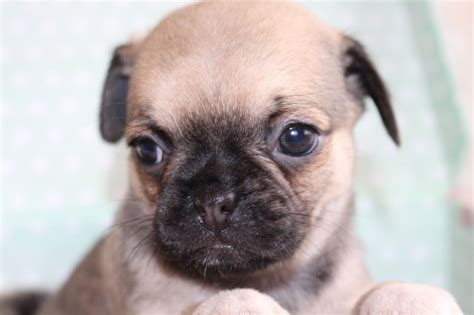 chihuahua x pug puppies pin chihuahua x pug 6mths pudle poodle on