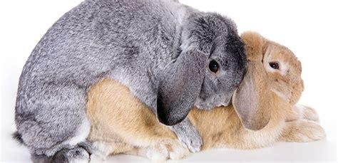 como se aparean los animales con humanos el apareamiento de los conejos