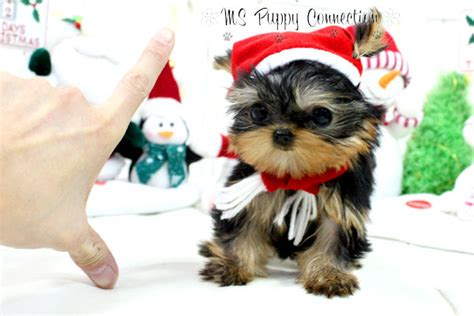 yorkie puppies delaware teacup terrier puppies for sale in delaware dogs in our photo