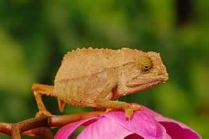keeping pygmy chameleons as pets pets4homes