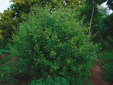 imagenes de guandules verdes cosas de comer propiedades de los gandules