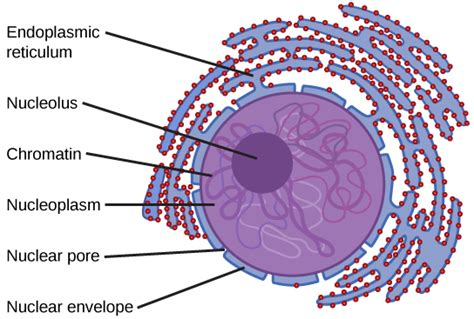 chromatin diagram chapter 3 cell structure and function biology open
