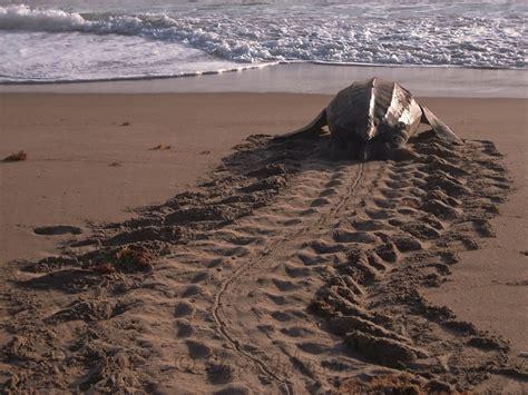 house turtle island lyrics related keywords suggestions for leatherback sea turtle eggs