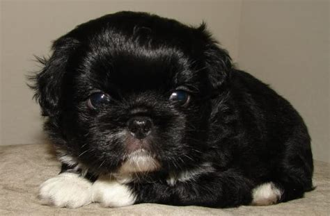 pug lhasa apso pug and lhasa apso pughasa pug mixed breeds pug lhasa and lhasa apso