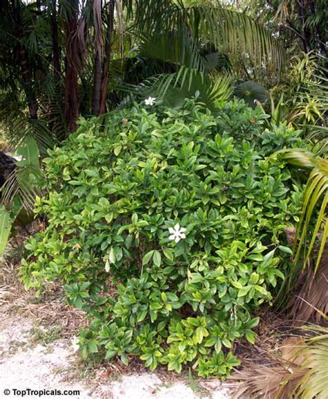 Gardenia Vietnamensis Gardenia Kailarsenia Vietnamensis Gardenia