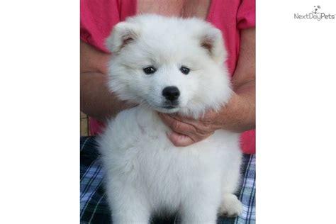 eskie puppies meet sugar a american eskimo puppy for sale for 1 200 posh california