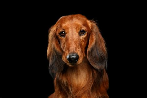 puppy wont eat anorexia in dogs 6 reasons why your isn t american kennel club