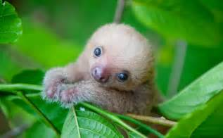 one of the cutest animals on the planet baby sloths