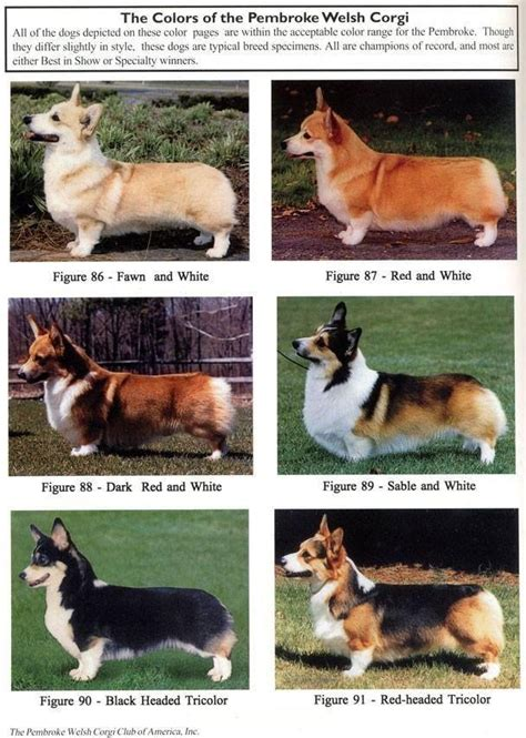 pembroke corgi colors about my pups k corgis