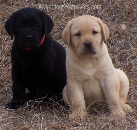 puppies for sale in portland oregon 2017 baby mini labrador puppies oregon for sale pictures images wallpapers