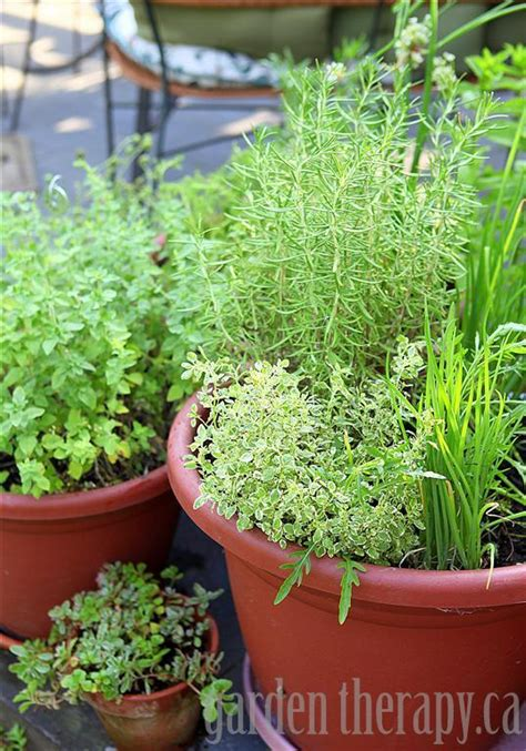 growing herbs grow your own perennial herb container garden garden therapy