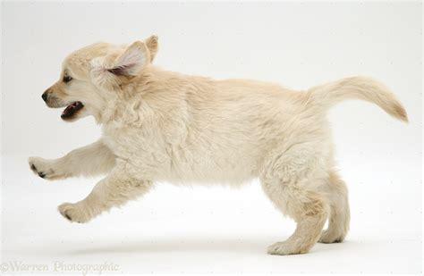 golden retriever puppy running golden retriever puppy 9 weeks running across photo wp14098