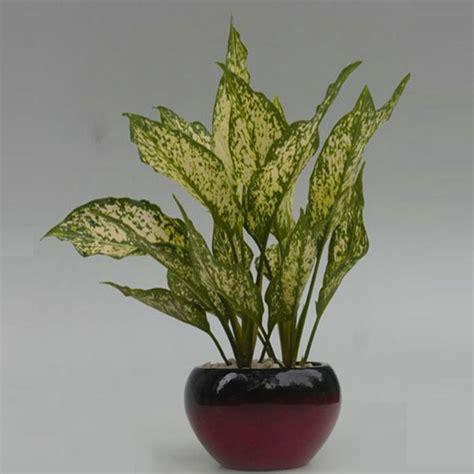 beli disini tanaman hias aglaonema costatum variegated