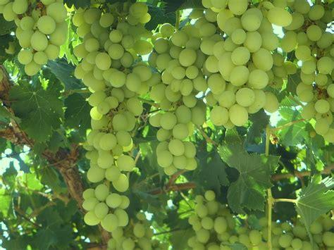 how to grow your grape vines grape vines