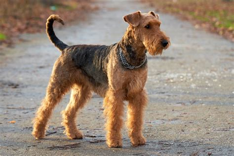 airdale puppies airedale terrier pictures diet cycle facts habitat behavior