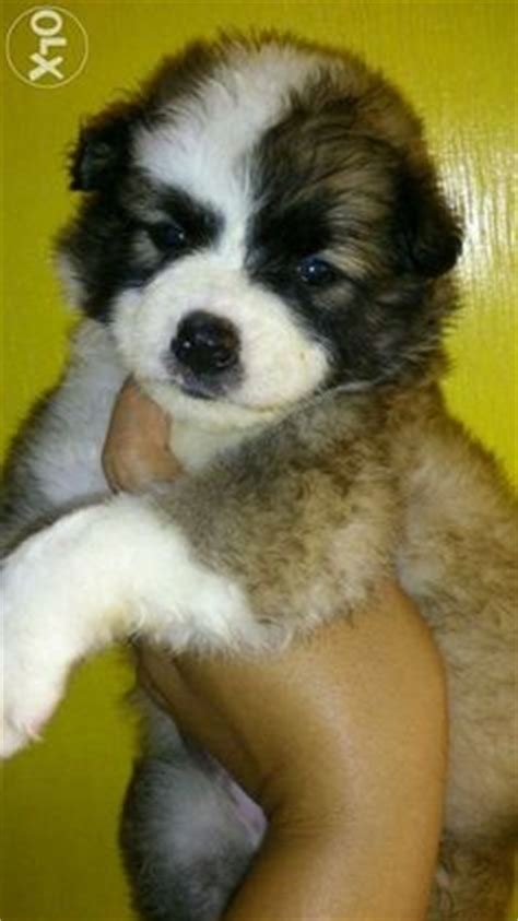 pomeranian husky price philippines siberian husky for sale philippines find new and used siberian husky
