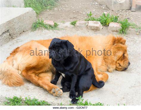 chow chow pug black pug stock photos black pug stock images alamy