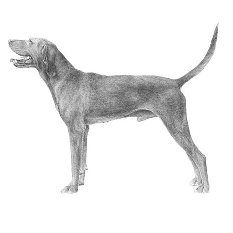Hw Regbone redbone coonhound breed information american kennel club