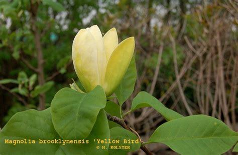 Magnolia Magnolia Brooklynensis Yellow Bird