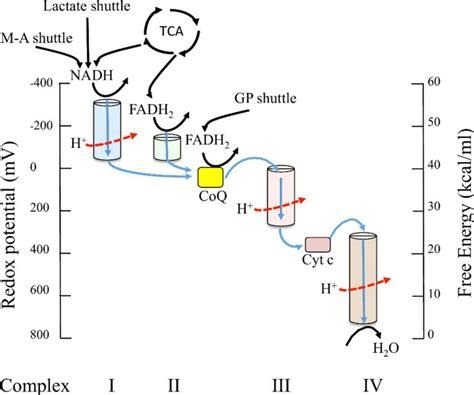 diagram and explain electron transport diagram and explain electron transport images how to
