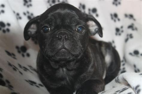 pug puppies for sale in md boston terrier pug puppies for sale in newburg pennsylvania http www network34