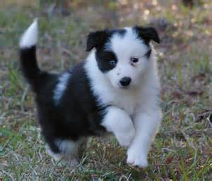 border collie rescue puppies image gallery small collie