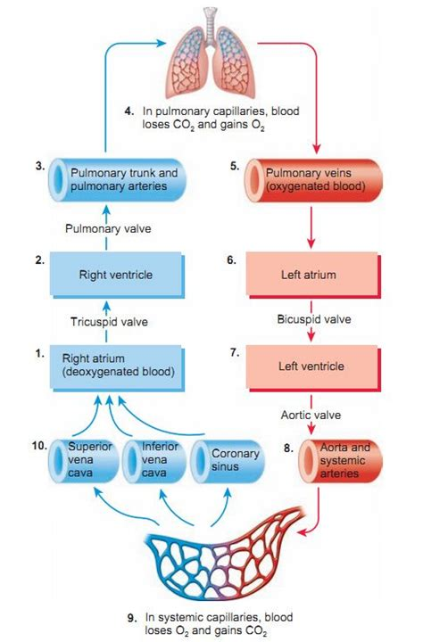 blood flow diagram of the blood flow of the paramedic study guide