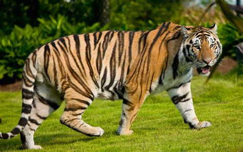 Bantal Macan Dan Singa gambar gambar harimau lengkap