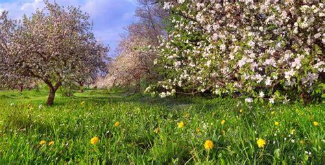 Garten Im Frühling by Bl 252 Te Apfelb 228 Ume Garten Im Fr 252 Hling Stockfoto Colourbox