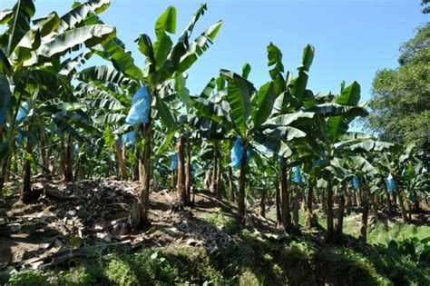 Learn about the banana industry   Go Visit Costa Rica