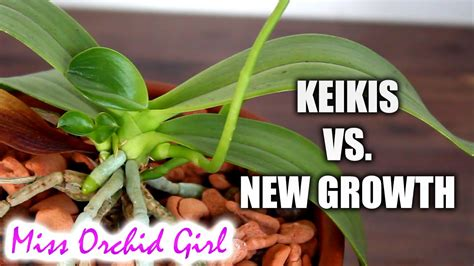 orchid keiki vs new growth orchid nature