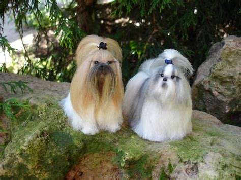 shih tzu puppies white and gold shih tzu my rocks
