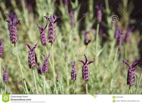 hardy lavender plants grow herbs and flowers in purple lavender stock image image of endangered 97634209