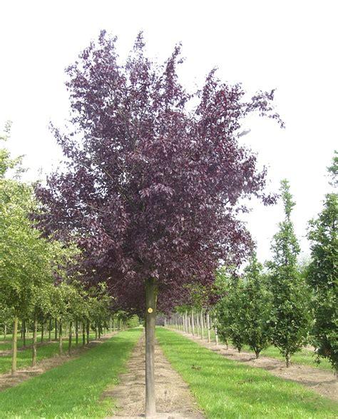 prunus cerasifera nigra purple plum practicality brown