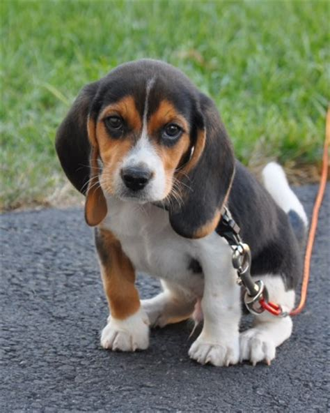 blue tick beagle puppies for sale near me creek beagle beagles forever cases and dr who