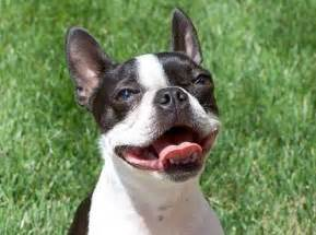 top 10 breeds that don t shed small litle pups