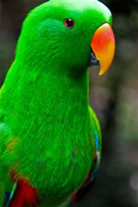 how to do oscar on doodle fit 1000 images about eclectus parrot on parrots