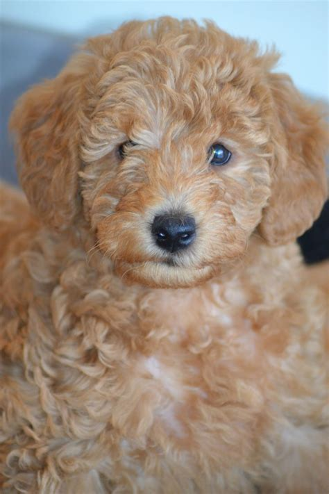 labradoodles puppies for sale hshire f1b miniature labradoodle puppies warrington