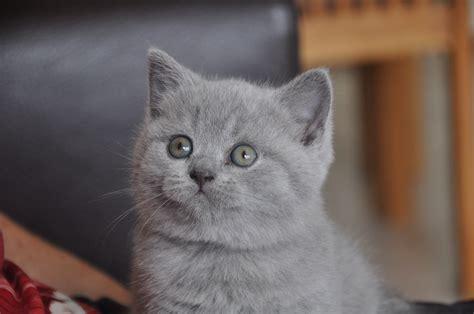 2 kittens in huis kattenrassen archives alleskatten nl