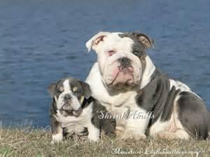 Blue English Bulldog Puppies » Home Design 2017