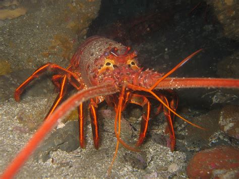 the lobster spiny lobster