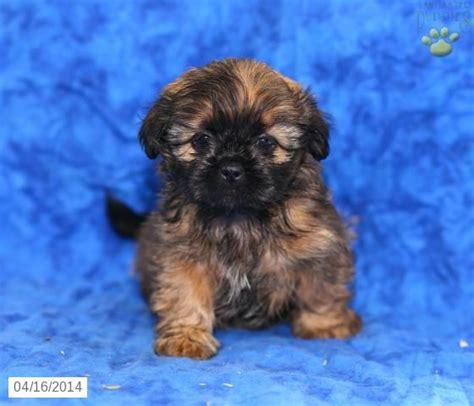shih tzu pennsylvania 28 best shih tzu images on puppies for sale shih tzu puppy and pennsylvania