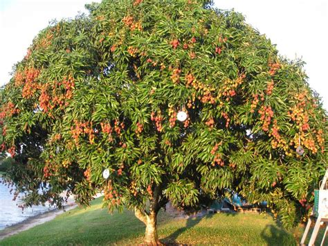fruit trees hawaii lychee tree fruit trees cases hawaii and