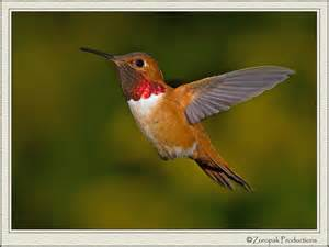 hummingbirds rufous hummingbird 17