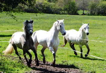 les poneys connemara bretagne elevage de kernizan eleveurs de poneys connemara