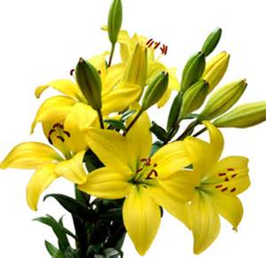 yellow lilies flowers for flower yellow flowers pictures